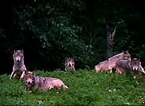 bush_wolves.jpg